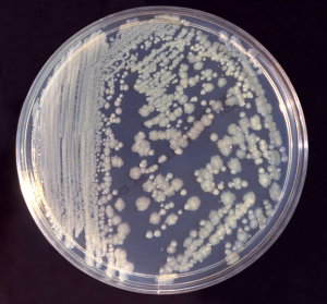 Enterobacter_cloacae_01